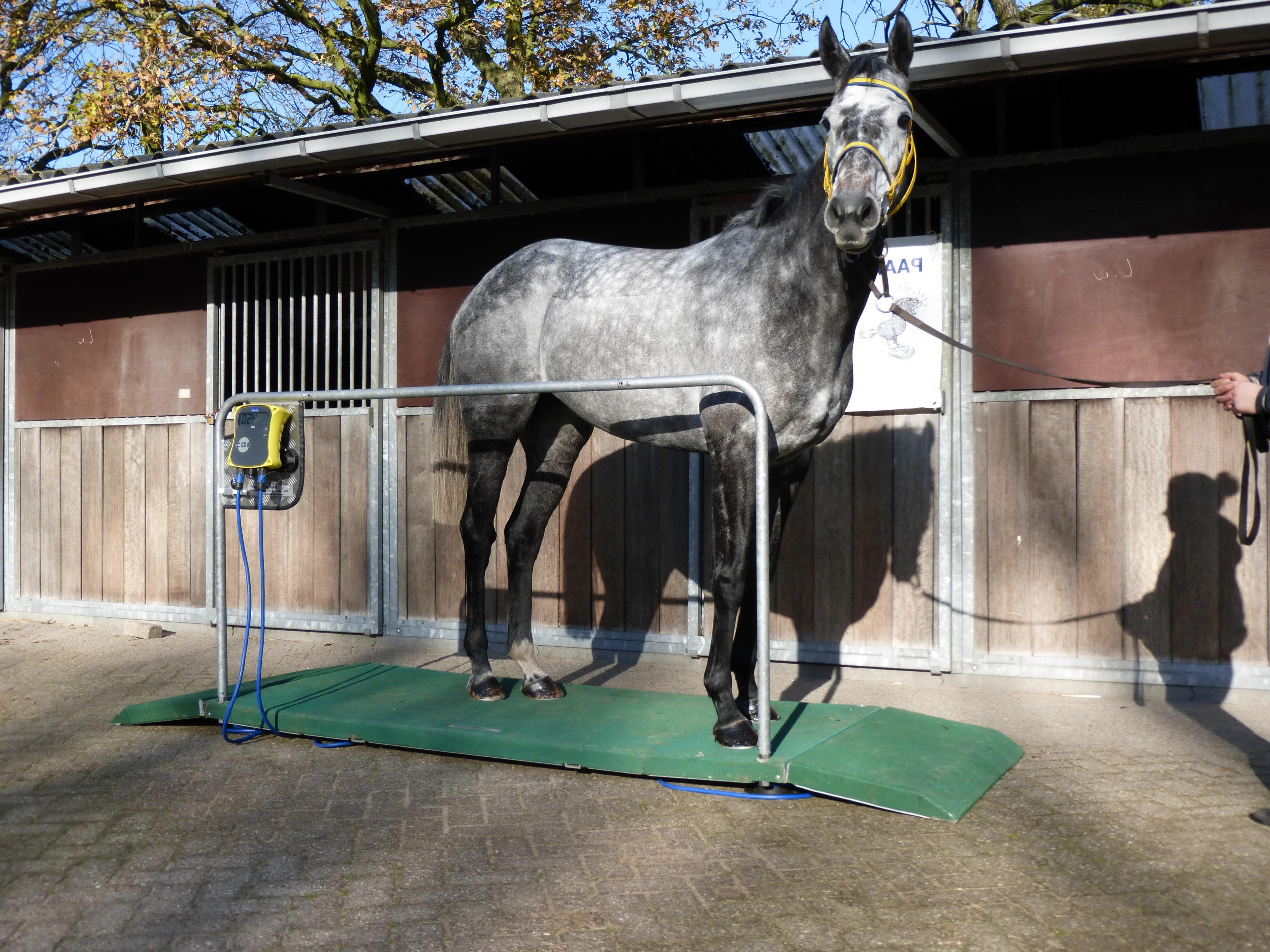 Schimmeltje poseert op mobiele paardenweegschaal Three Steps